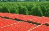 Применение ягод годжи для снижения веса