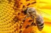 Пчелиный подмор для похудения: правила использования