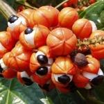 Амазонская гуарана, или жидкий каштан: новое слово в войне с лишними килограммами!