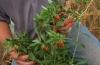Выращивание годжи от семян до растений