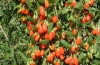 Самое ценное растение, успейте купить ягоды годжи в Украине