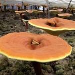 Ganoderma spore: полезные свойства для похудения