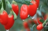 Как употреблять ягоды годжи в пищу?