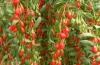 Купить ягоды годжи в Финляндии: меры предосторожности