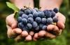 Как виноград помогает бороться с ожирением