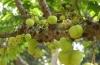 Сок этого фрукта … сжигает жир на животе? Феноменальные свойства «Индийского крыжовника»