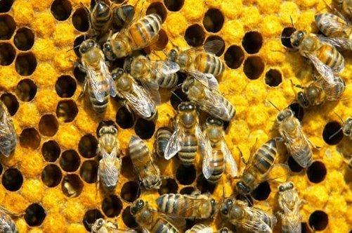 пчелиный подмор для похудения фото