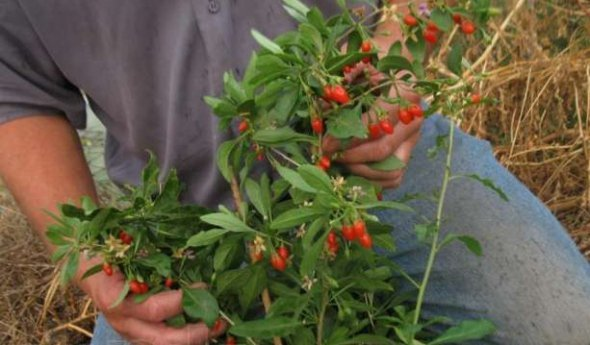 Как в домашних условиях вырастить ягоду годжи